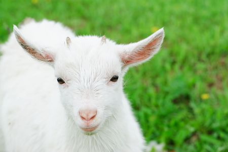 yeanling: Curious white goatling stands on a green meadow Stock Photo