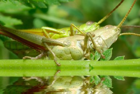 introduces: During reproduction, the male grasshopper introduces sperm into the ovipositor through its aedeagus