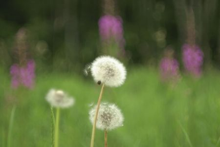 Dandelions are tap-rooted biennial or perennial herbaceous plants. Background is soft, blurred, green Stock Photo - 4887190