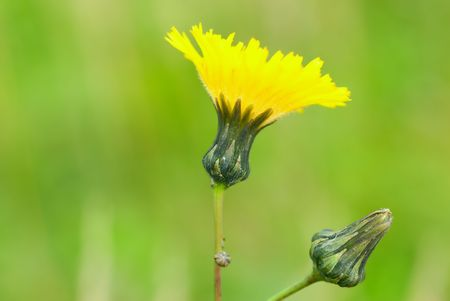 arvensis: Sonchus arvensis- perennial herbaceous plant. Used for salads, vinaigrette, soups, mashed potatoes, add the filling for pies