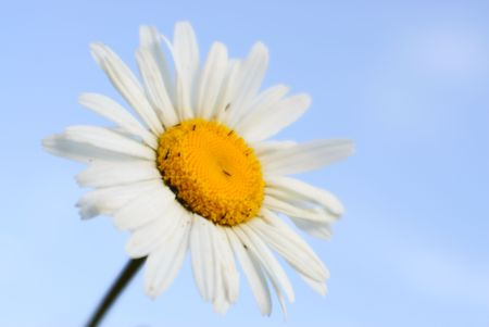 White camomile at the forest edge. Ox-eye daisy- background soft, blurred. Dandelion- flower photo