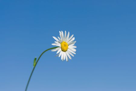 White daisy on a background of blue sky