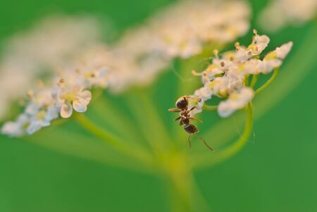 pismire: White small flowers and ant. Stock Photo
