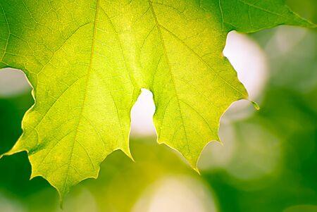 Maple leaf in autumn blurred background photo