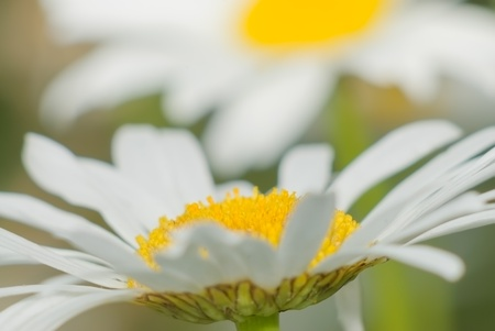 Blossoming of daisies in summer sunny day photo
