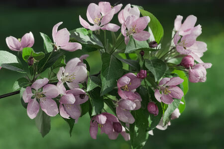 Through rose-colored flowers and leaves of apple trees photo