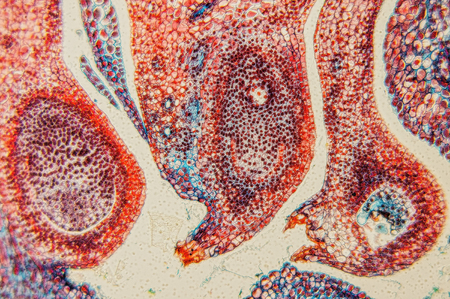 histology: Scientific research - plant tissue magnification