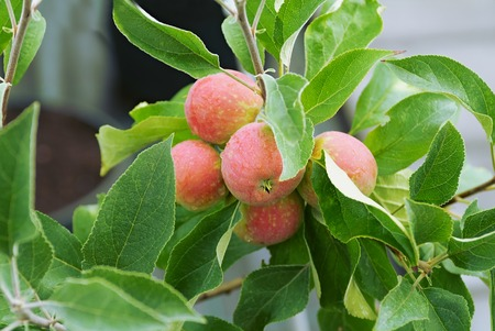agronomic: Fruiting apple trees on the farm agronomic
