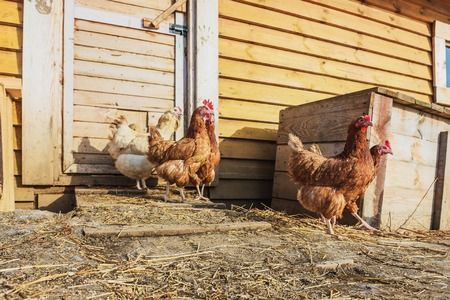 barndoor: Poultry farm- growing fowl for food. Chicken for a walk in the farmyard. Stock Photo