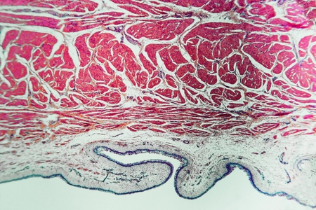 Structure of the pyloric stomach of the dog. Educational material for the study and treatment of animals. Biological microscope prepared slides. Colouring with hematoxylin and eosin.