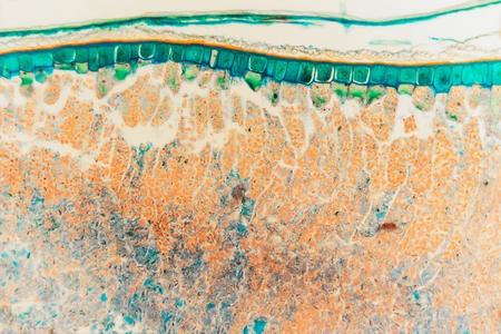 cytology: Weevil rye- biological prepared microscope slides