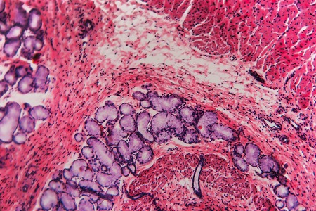 Cell dog- cross section esophagus. Histological preparation- dissection of tissue into thin layers with microtome.
