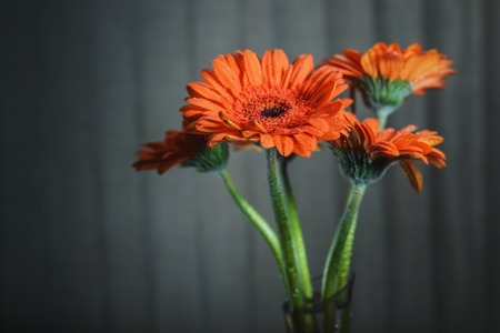 Background art- stylish still life flowers gerbera. Suitable for use in creative projects of designers. Creative artwork used for printing on large format canvas.
