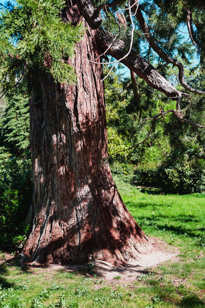 The majestic sequoia grows in the spring park- evergreen tree