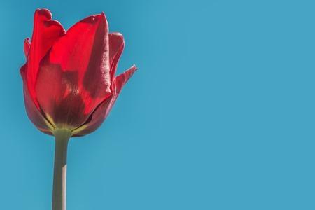 Springtime- tulips in full bloom in the national botanical garden Stock Photo