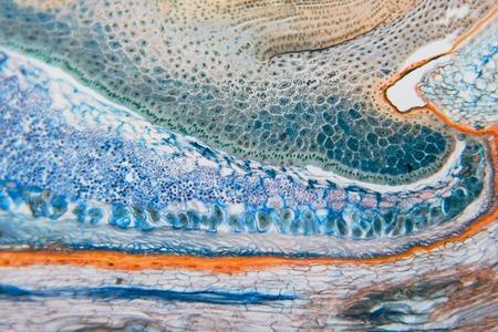 Modèle de la nature: seigle du charançon en coupe. Beau fond de légume. Diapositives de microscope préparées biologiques