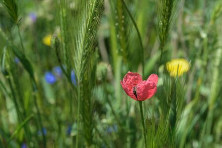 Landscape nature- flowers of red poppy on background of green grass