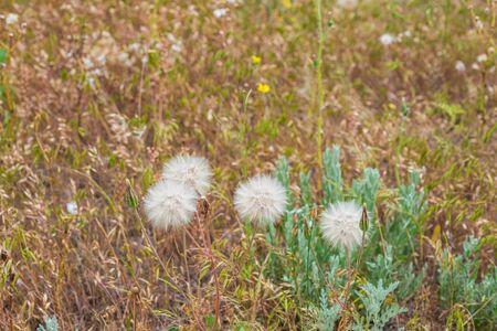 Dandelion- background spring. Macro flower- nature season