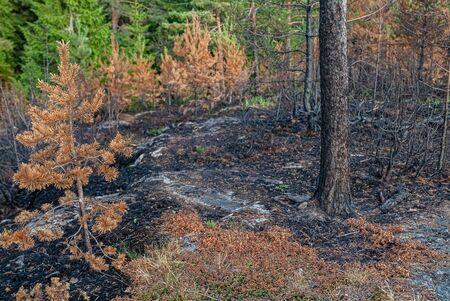 Conflagration- burned forest. Nature landscape- national park Reklamní fotografie