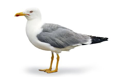 Gray and white seagull of the Atlantic