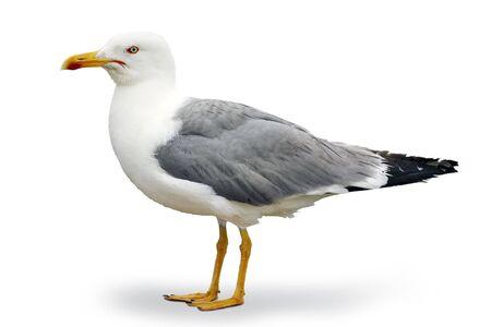 Szary i biały seagull na Atlantyku