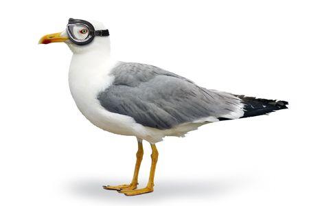 mouettes: Seagull avec des lunettes de pilote  Banque d'images