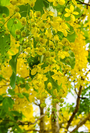 Golden shower tree photo