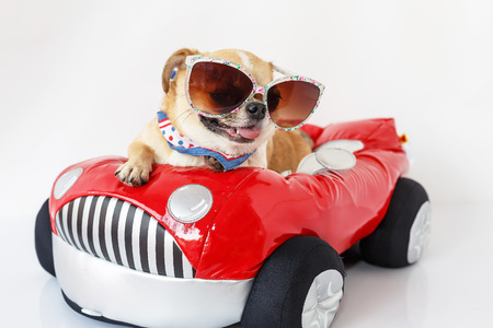 Cute chihuahua dog wearing sunglasses sits on a red car with a white background.