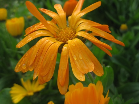 chaingmai: Chrysanthemum in Chaingmai , Thailand