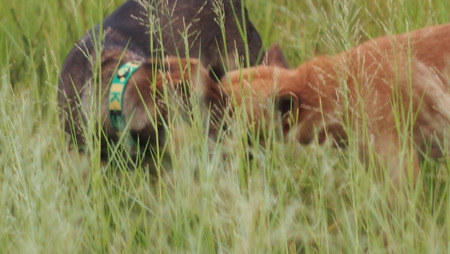 happy dogs play in green grass photo