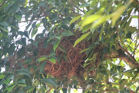 weaver bird nest: Nests on branches.