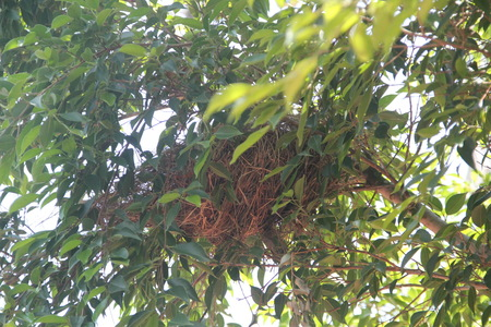 weaver bird nest: Nests on branches.