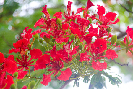 flamboyant: Flam-boyant, The Flame Tree, Royal Poinciana