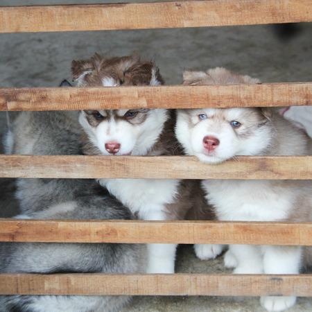 siberian husky: Cute fluffy Siberian Husky tree puppy dogs Stock Photo