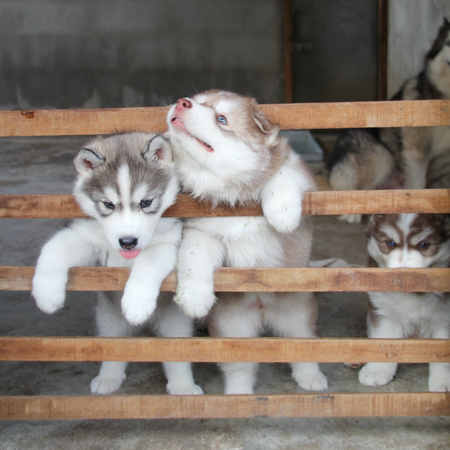siberian husky: Cute fluffy Siberian Husky puppy