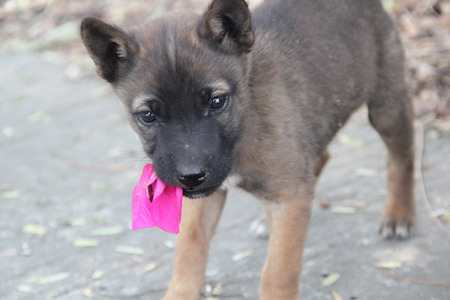 pupy: cute dog with a pink flower in the mouth and looking camera, Sad look of a cute stray dog Stock Photo