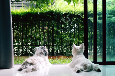 Cute shih tzu puppy and west highland white terrier looking out the door glass waiting for the owner in evening.