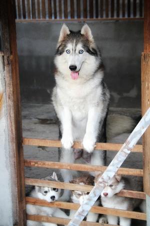 lovely siberian husky family Imagens