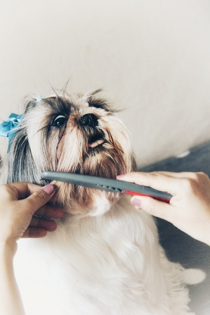 Shih Tzu does not like combing, funny dog