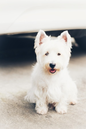 cute  west highland white terrier puppy dog, sit and smile and look a camera Imagens
