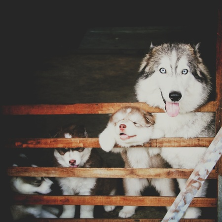 four siberian huskey in cage and looking camera, dark tone, retro tone