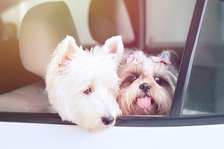 two happy dog smile and look outside car, go to travel with owner in summer holiday