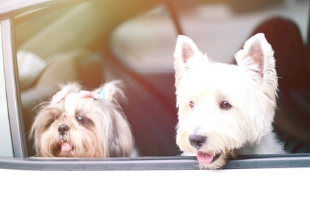 two happy dog, Shishu and Westie dog sit in the car and take face out of the window and looking a camera, prepare to travel with their owner. Stock Photo