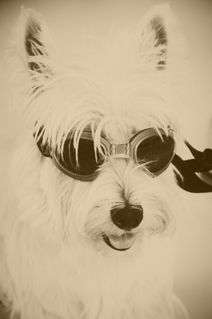 cute puppy westie dog with goggles, dark tone, vintage tone Stock Photo