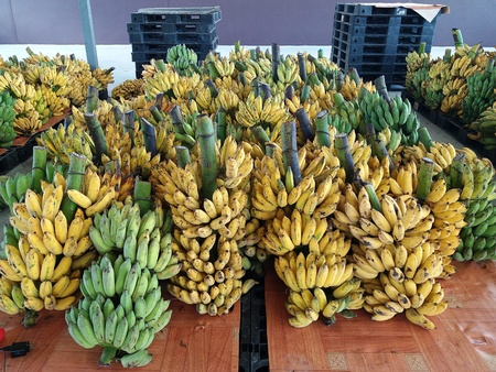 Cultivated banana in storage room prepared to export