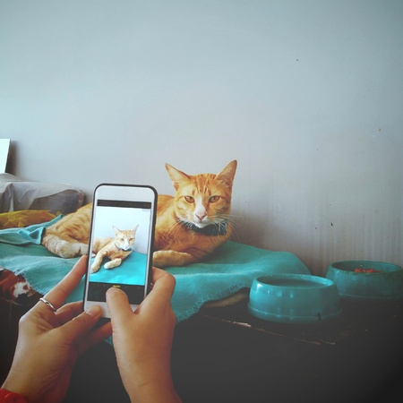 yellow cat lying and looking at smart phone when his owner take a photo