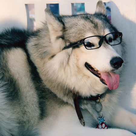 handsome grey siberian husky with glasses is smiling and looking at camera