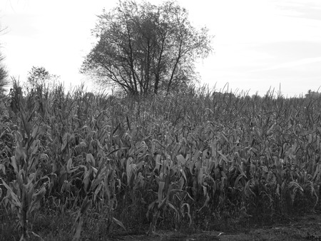 black and white field tree
