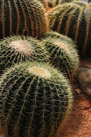 Cactus in Amphoe Mae Rim, Chiang Mai