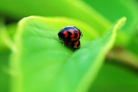 A romantic scene of ladybirds mating on leaf photo